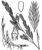 Photographie n°4165 du taxon