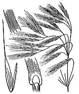 Photographie n°4190 du taxon