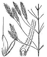 Photographie n°4198 du taxon