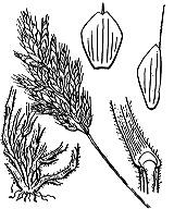 Photographie n°4203 du taxon