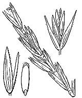 Photographie n°4218 du taxon