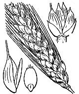 Photographie n°4230 du taxon
