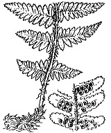Photographie n°4289 du taxon