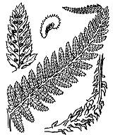 Photographie n°4298 du taxon