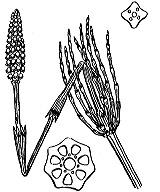 Photographie n°4348 du taxon