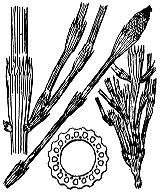 Photographie n°4352 du taxon