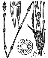 Photographie n°4353 du taxon
