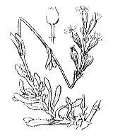 Photographie n°449 du taxon