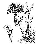 Photographie n°469 du taxon