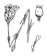 Photographie n°481 du taxon