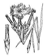 Photographie n°487 du taxon
