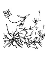 Photographie n°504 du taxon