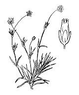 Photographie n°511 du taxon