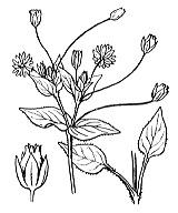 Photographie n°551 du taxon