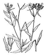 Photographie n°598 du taxon