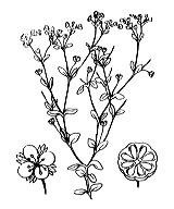 Photographie n°608 du taxon