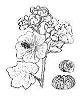 Photographie n°620 du taxon