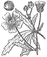 Photographie n°628 du taxon