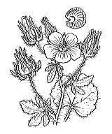 Photographie n°629 du taxon