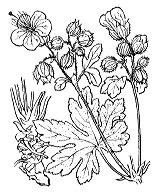 Photographie n°632 du taxon