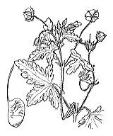 Photographie n°636 du taxon