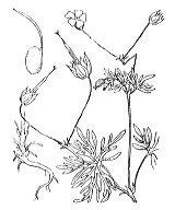 Photographie n°637 du taxon