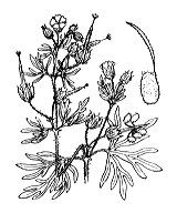 Photographie n°638 du taxon