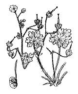 Photographie n°640 du taxon
