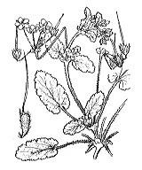 Photographie n°655 du taxon