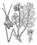 Photographie n°666 du taxon