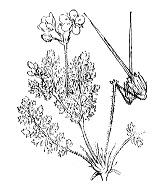 Photographie n°668 du taxon