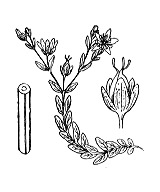 Photographie n°675 du taxon