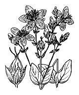 Photographie n°686 du taxon