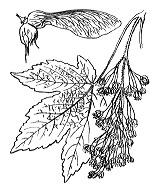 Photographie n°689 du taxon