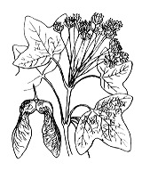 Photographie n°691 du taxon