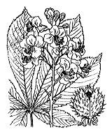Photographie n°695 du taxon