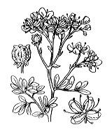 Photographie n°705 du taxon