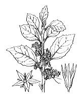 Photographie n°720 du taxon
