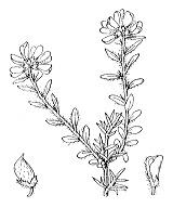 Photographie n°758 du taxon