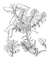 Photographie n°760 du taxon