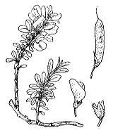 Photographie n°771 du taxon