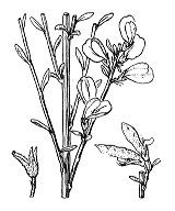 Photographie n°772 du taxon
