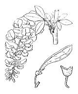 Photographie n°774 du taxon