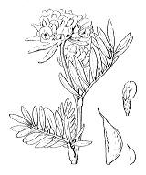 Photographie n°814 du taxon