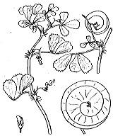 Photographie n°829 du taxon
