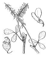 Photographie n°861 du taxon
