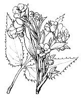 Photographie n°88 du taxon
