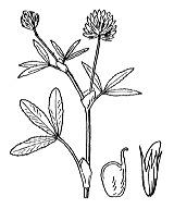Photographie n°882 du taxon