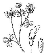 Photographie n°883 du taxon