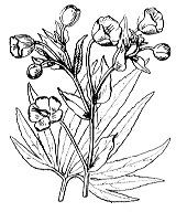 Photographie n°89 du taxon